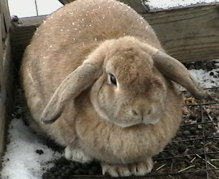 Loppy the Lop