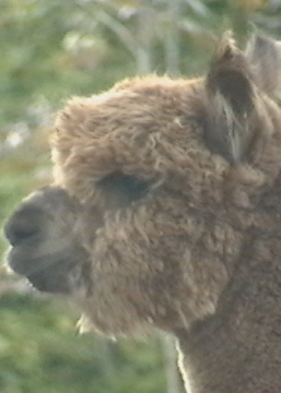furry alpaca face