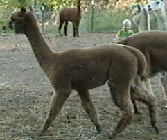 Alpaca Stella side