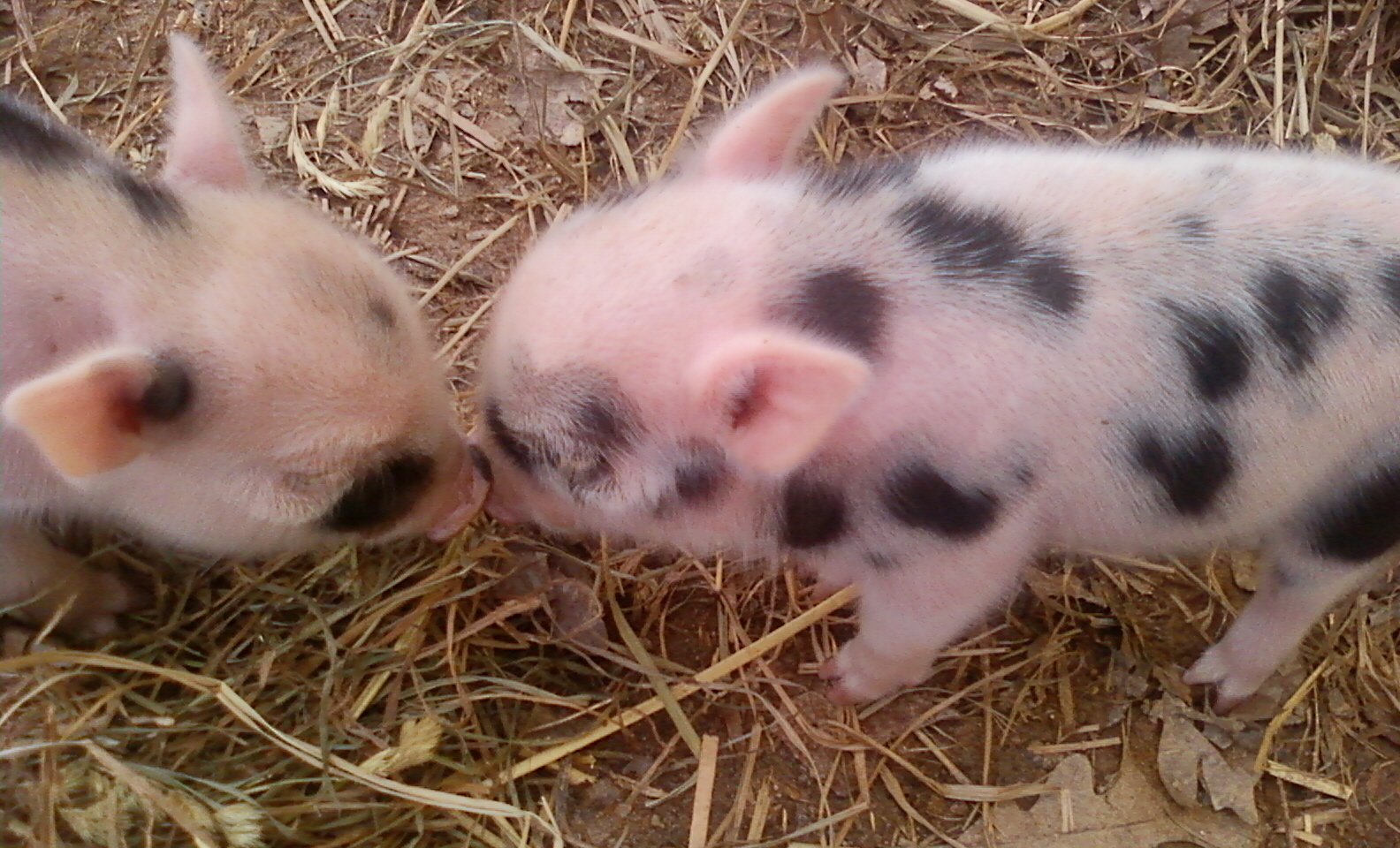 kissing piggies
